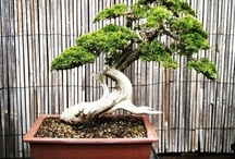 bonsai / by Rebecca Wachtman