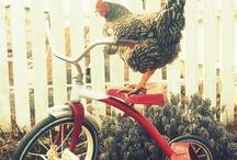 Chicken ♥ / by Gail Blain Peterson (Faithfulness Farm)