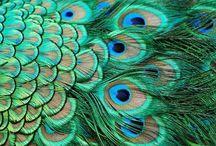 Peacocks  / by Candy Waldman Crawford