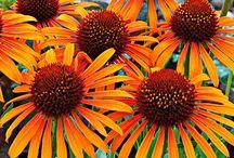 Gardening: Coneflowers I want / by Linda Sloat