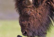 Buffalo / by Ginny Smith