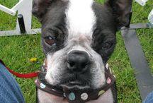 Freakish Obsession - Boston Terriers / by Carol Bond