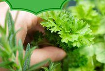 Seedlings/Herbs / Growing my own herbs from my windowsill! / by Marisa Tenney