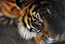 Tiger / by Kat Gray