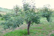 Apple trees / by Kate Kennedy