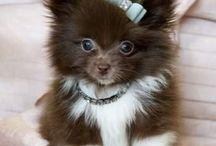 Pomeranian / by Fiel Orial