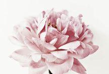 Flowers / Peony my favorite flower. / by Niah Beltran