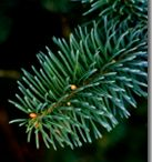 Noble Fir Christmas Tree / Noble Fir Trees are awesome / by Katie Ryland