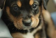 Rotties and Goldens / by Studio 13 Photography