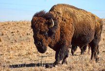 Wild Buffs / Buffalo photography and art.  / by Colorado Buffaloes
