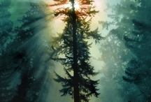 Pine Trees / by Robin Bowersox