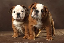 Bulldog Obsessed! / Well, as the title of this board suggests, I'm a self-proclaimed bulldog addict!  I adore them so much that I can't imagine life without them!  I love looking at these pictures...they just make me happy. :) / by Sarah Shires