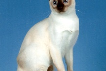 TONKINESE / by Cat Fanciers Association