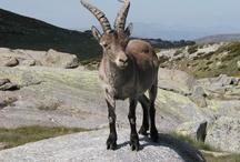 La Fauna de Gredos / Animales de Gredos / by El Milano Real Hotel