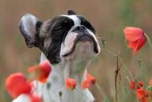 Boston terriers / by Abby Koshelowsky