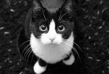 I ♡tuxedo cats / by Jennifer Braun