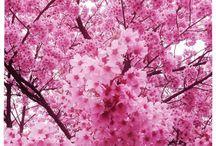 Cherry Blossoms~ / by Jessica Puakalehua Johnson