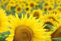 Sunflowers and Fruit / by Daphne Davis, Interior Designer