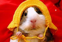 Guinea Pigs / by Amber Willmore