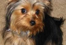 Yorkies / by Vickie Sorrell