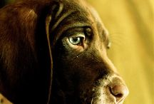 German shorthaired pointers (&wire) / by Beth Chappelle