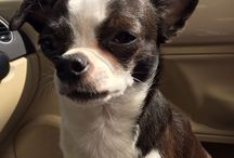 Chihuahua / Love for Chihuahuas. Small doggies but such ginormous personalities / by Melissa West