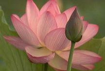 Lotus / by Satoe Suganami