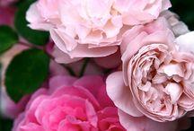 Hibiscus, Hydrangea, Lavender, and Lilacs /  Beautiful hibiscus, hydrangea, Lavender and Lilacs / by Cyndee Lehner