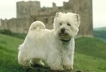 West Highland Terriers / by Isobel Westfall