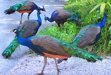 Peacocks / by Jeanne Pague