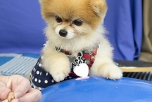 Bella Pomeranian / Bella is a rescued Pomeranian featured in our commercial. Learn more about Bella by visiting her blog at: http://blog.petmeds.com/bella-pomeranian/ / by PetMeds