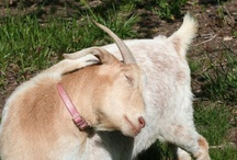 Goats / Our goats are used to eat invasive species like multiflora rose, blackberry, oriental bittersweet and Japanese honeysuckle. This is called targeted grazing. / by Adkins Arboretum