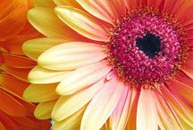 gerber daisy (: / by Amy Monroe