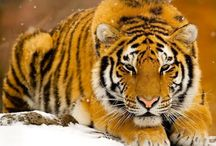 #tiger / by CoLo