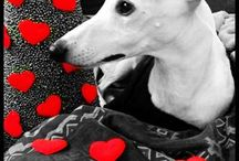 whippet and greyhound / by Lavinia Dow