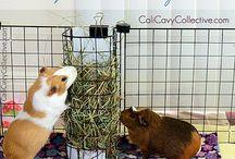 Guinea Pig Stuff / by Marissa Seelye