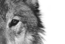 Wolf / by France Papillon