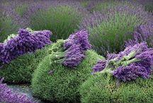 Lavender World  / by Gary Inman