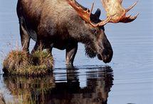Moose / by Anne Eveland-Lambert
