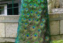 Peacock / by Tibet Tenzin
