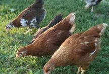 Chickenry / by ChickenAsylum