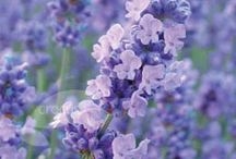 Lavender, Lilac and Shades of Purple / by Eileen Smith Farleigh