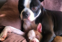 Animalsss <3 / Mostly Boston Terriers but all different kinds of animals too.  / by Ana