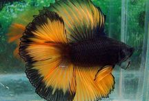 betta fish / by Anna Ziegler  Haas