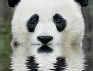 Pandas / by Furio Fu