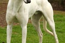 Greyhounds / by Joy Henderson