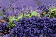 Lavender / The most awesome smell in the world!! / by Heather Grass