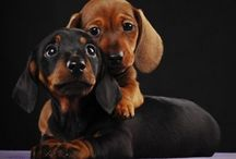 Doxie Love / by Vicki Remtulla
