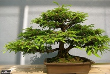 Bonsai ~~~ / by Linda Wilds