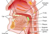 Anatomy / The field of communication sciences and disorders (CSD) has been built on scientific knowledge gained through the study of the human body. Find pins that can help you visualize anatomy related to speech, language, and hearing. Pins, repins, and likes do not imply endorsement. / by American Speech-Language-Hearing Association (ASHA)